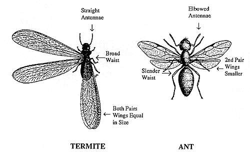 Diagram of a termite and an ant